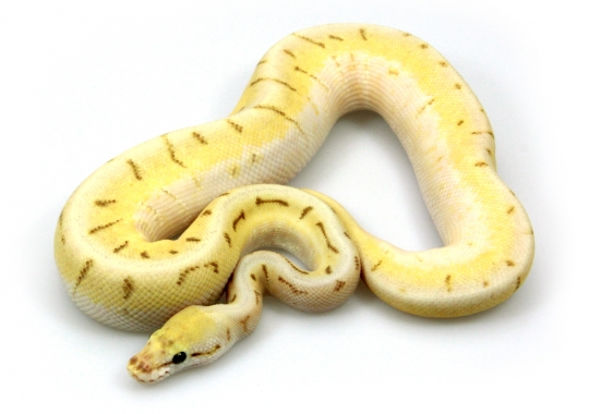 Killer Bee Enchi Pinstripe