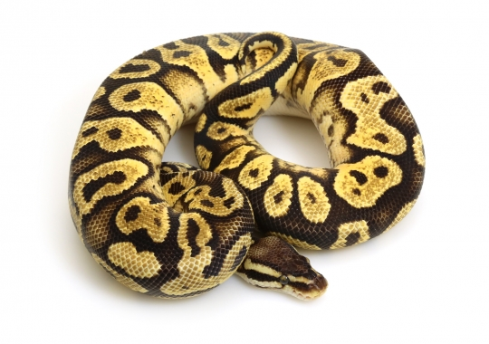 Citrus Pastel Yellow Belly
