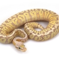 Coral Glow HGW Super Pastel Yellow Belly