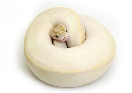 Enchi Ivory
