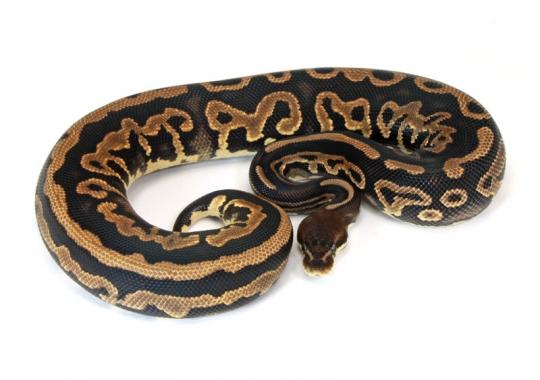 Leopard Cinnamon