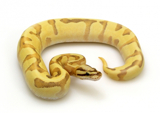 Orange Dream Enchi Vanilla Fire