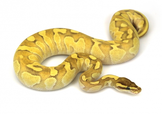 Orange Dream Lesser Pastel Enchi