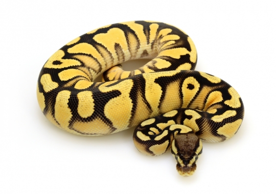 Super Orange Dream Yellow Belly