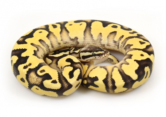 Orange Dream Firefly Yellow Belly
