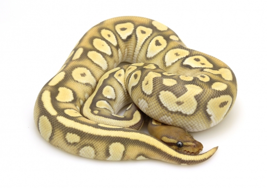 Orange Dream Mojave Ghost