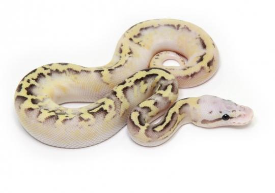 Pastel Disco Sulphur