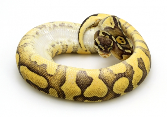 Enchi Pastel Yellow Belly