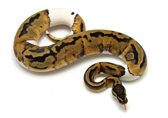 Piebald Low White