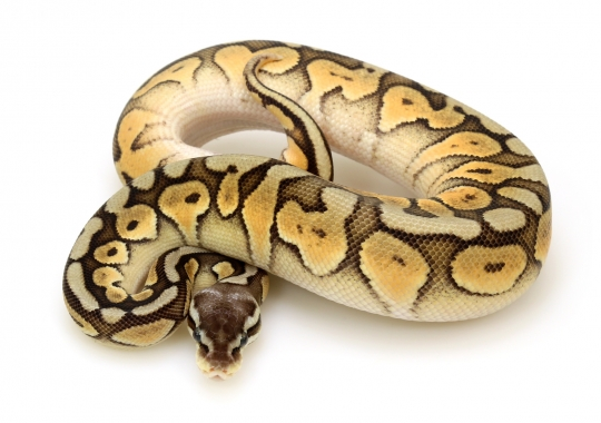 Super Pastel Cinnamon Enchi