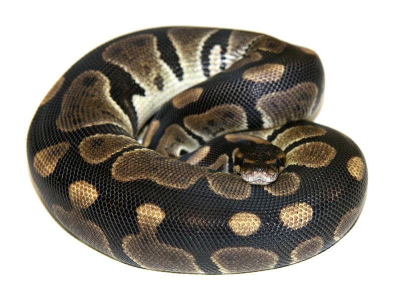 ball python, black velvet