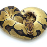ball python, blade clown