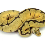 ball python, bumble bee clown