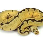 ball python, bumble bee clown