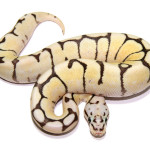 ball python, bumble bee fire