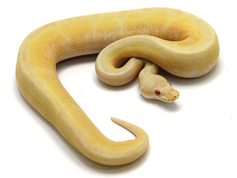 ball python, toffino bumble bee