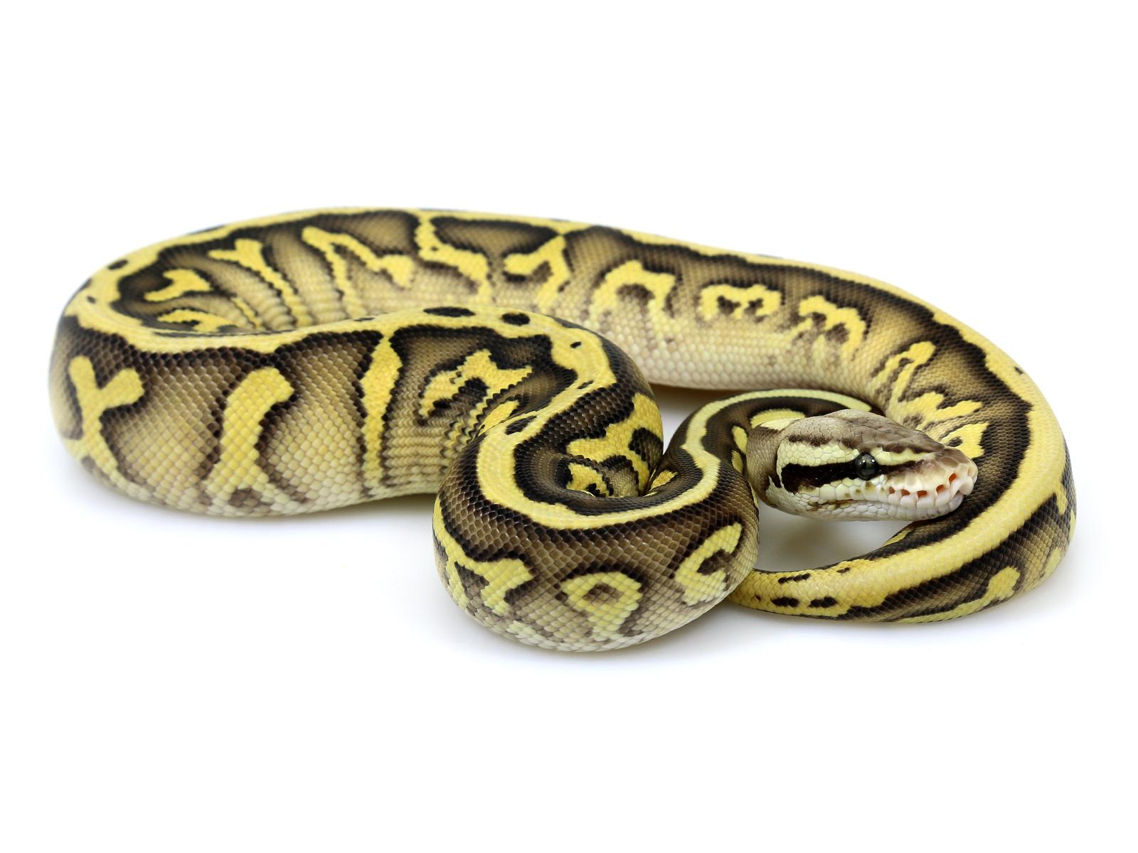 ball python, leopard butter pastel