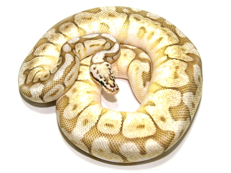 ball python, butter bumble bee
