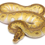ball python, butter clown