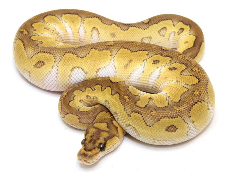 ball python, butter clown