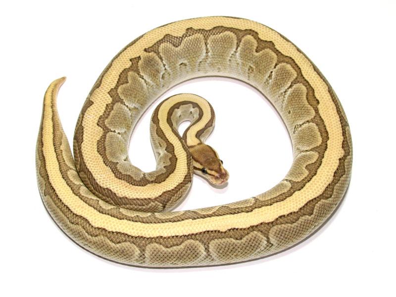 ball python, butter pinstripe