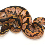 ball python, calico bubble gum