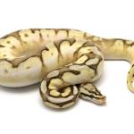 ball python, calico mojave pastel spider