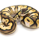 ball python, calico pastel