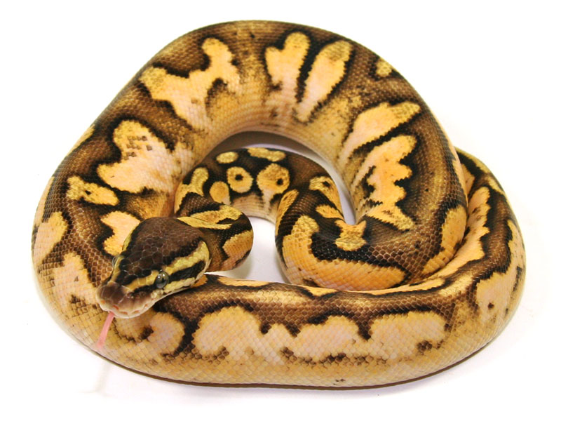 ball python, calico pastel fader