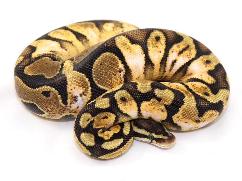 ball python, calico pastel paradox