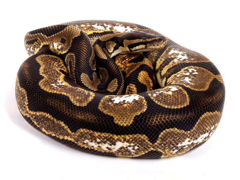ball python, calico