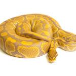 ball python, caramel albino