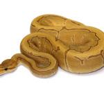 ball python, caramel pinstripe