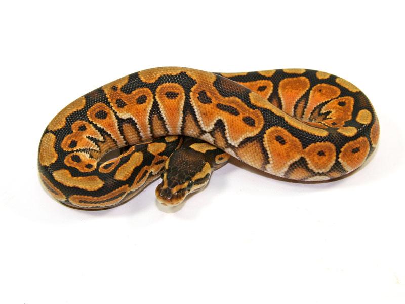 ball python, cinnamon enchi