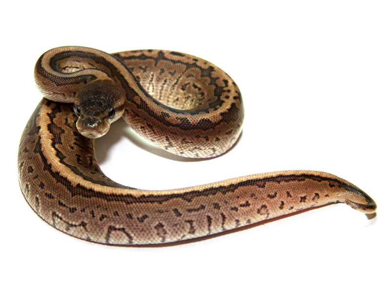ball python, cinnamon pinstripe