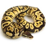 citrus-pastel-yellow-belly