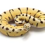 ball python, desert bumble bee