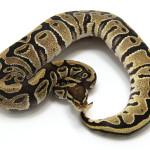 ball python, fire