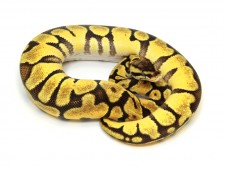 ball python, super enchi