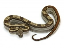 Boa, Motley Jungle morph