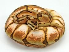 ball python, cinnamon enchi spider