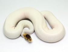 ball python, spider piebald