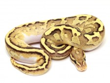 ball python, disco sulphur