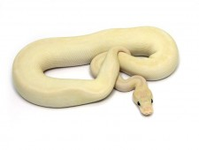 ball python, butter pastel special