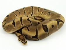 ball python, woma