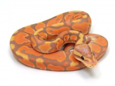 ball python, banana enchi cinnamon