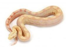 Boa, Albino Motley morph