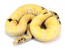 ball python, paradox toffino