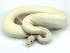 ball python, pastel yellow belly