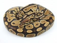 ball python, yellow belly